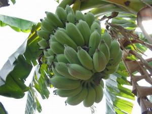 regime-de-banane-001